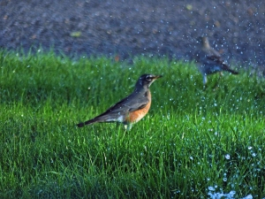 Robins in water 2-24-16 #1