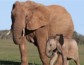 African elephant and calf in Maasai Mara Reserve, Kenya